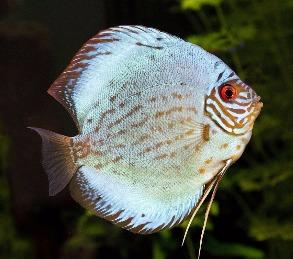 Süßwasserfisch