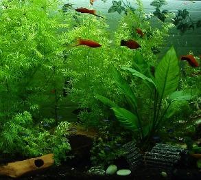 Pflanzen in einem Aquarium